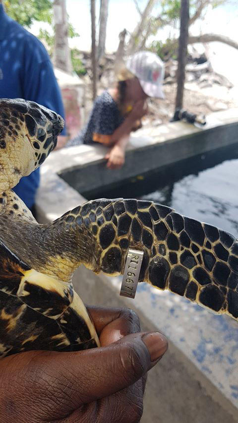 the tags on the sea turtles uesed for future sightings